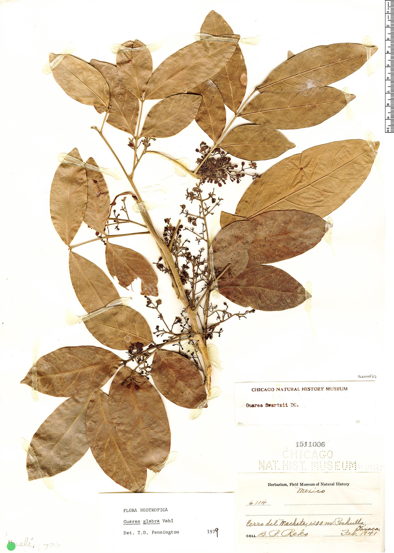Specimen: Guarea glabra