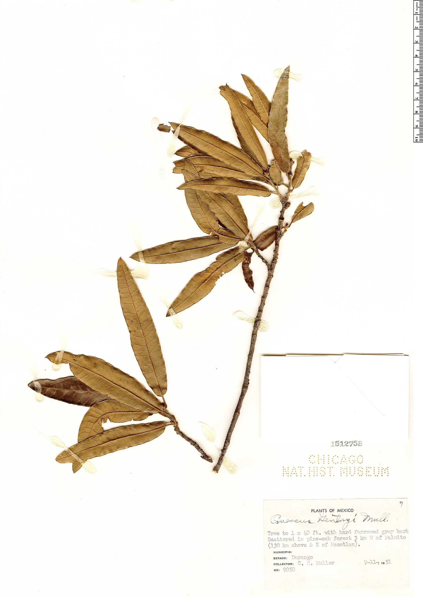 Specimen: Quercus gentryi