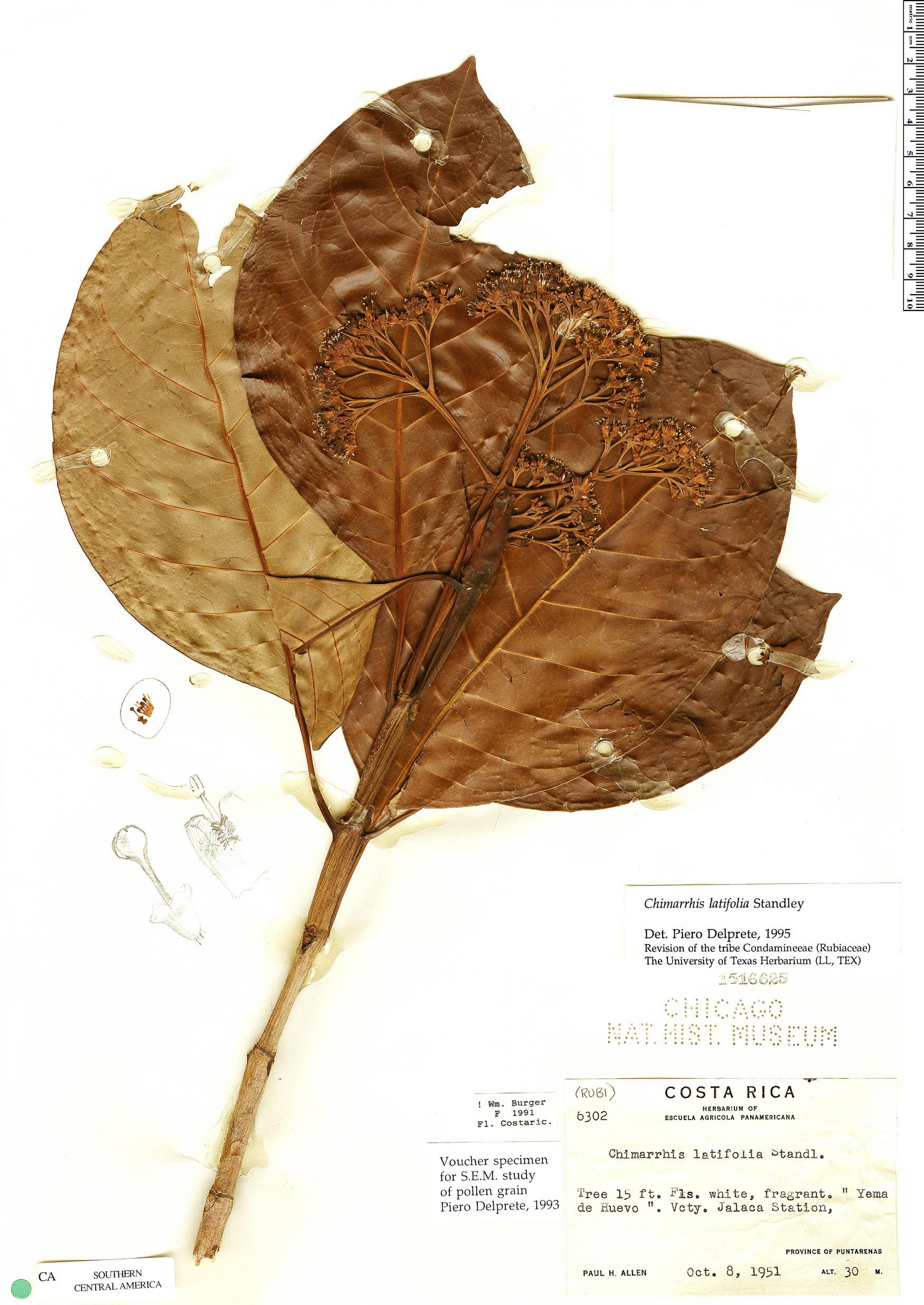 Specimen: Chimarrhis latifolia