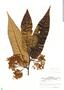 Virola sebifera, Panama, W. L. Stern 194, F
