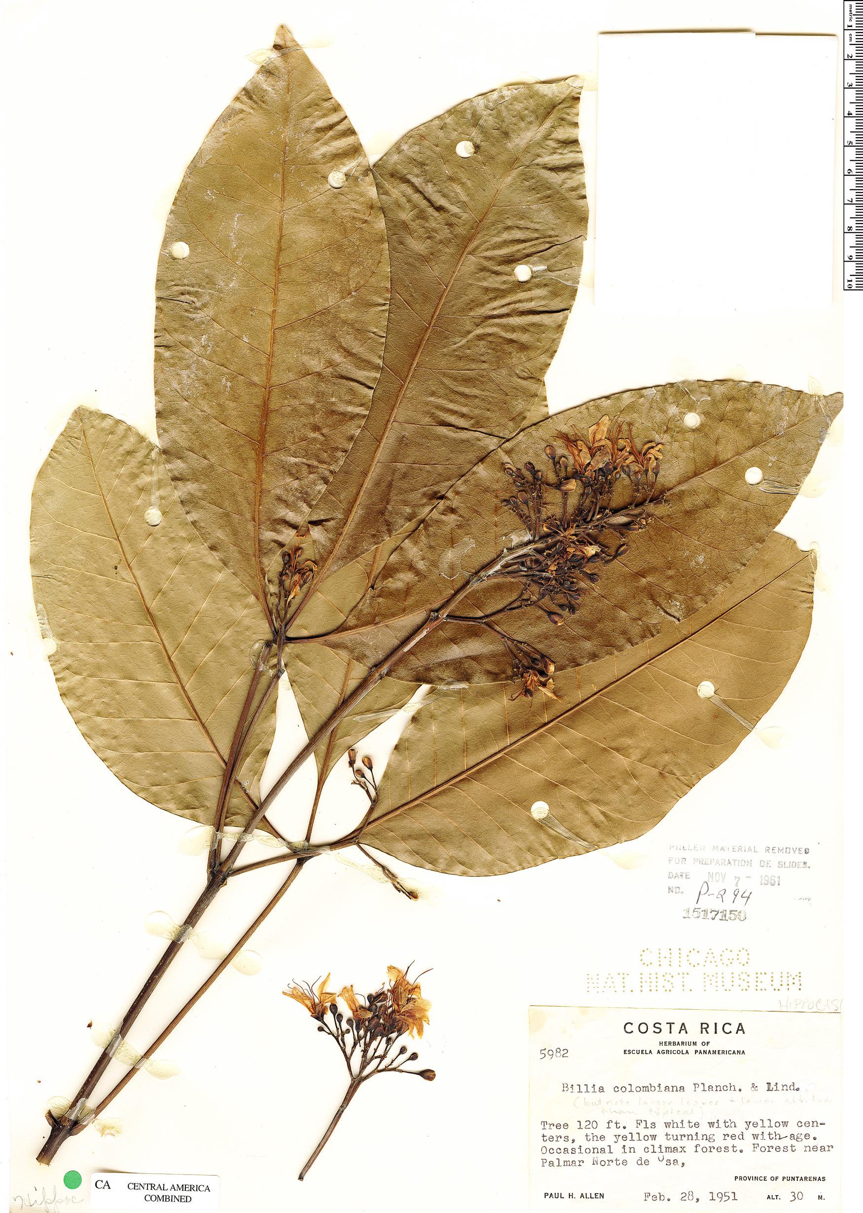 Specimen: Billia rosea