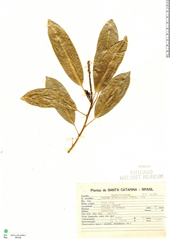Specimen: Sapium glandulatum