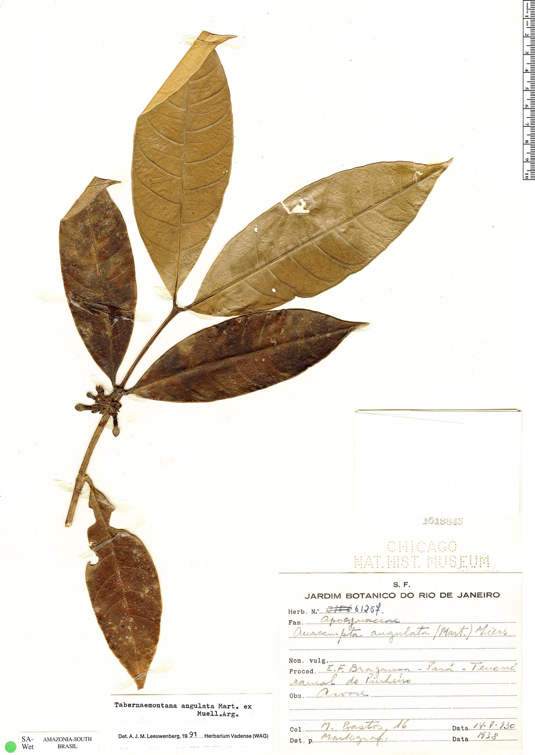 Specimen: Tabernaemontana angulata