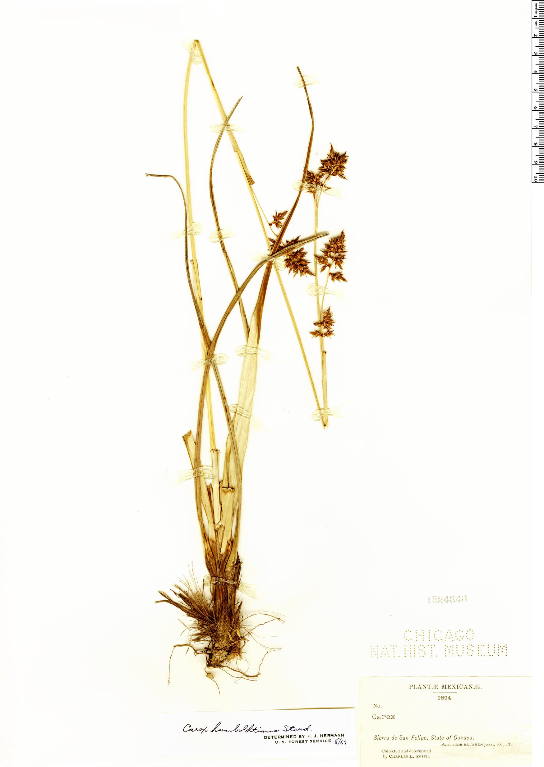 Specimen: Carex humboldtiana