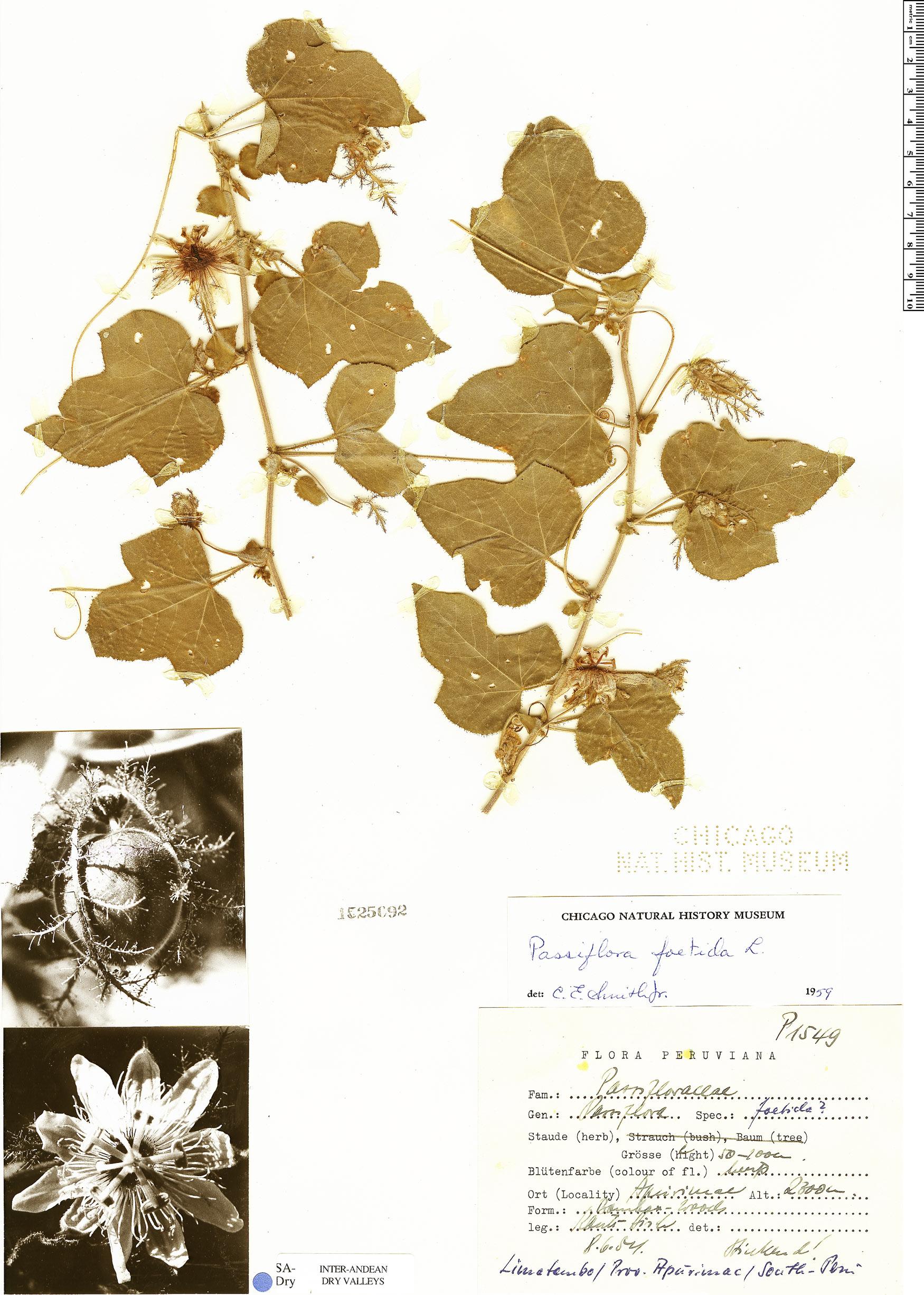 Specimen: Passiflora foetida