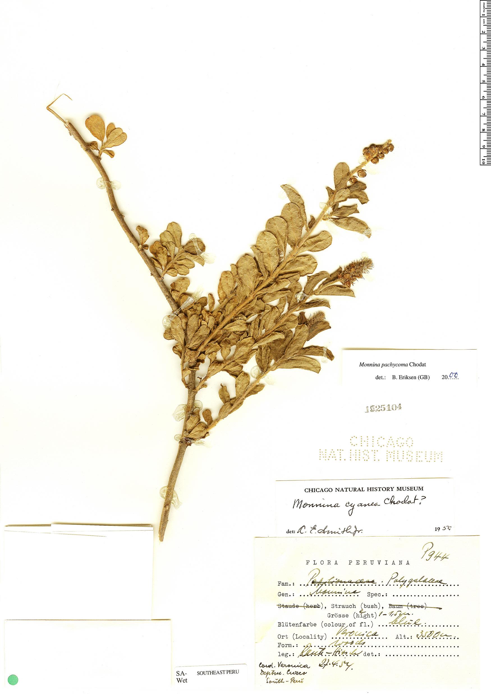 Espécime: Monnina pachycoma