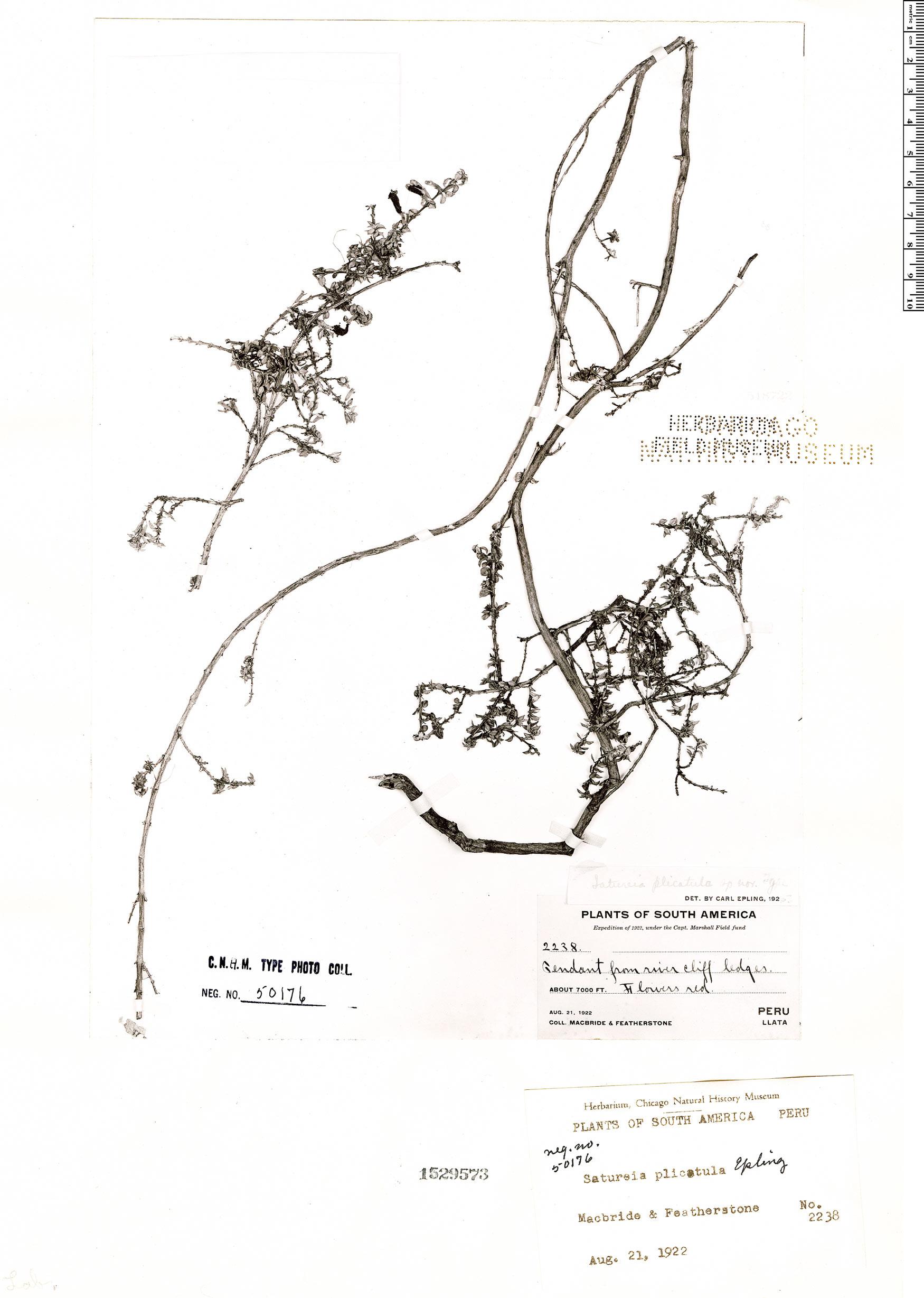 Specimen: Clinopodium plicatulum