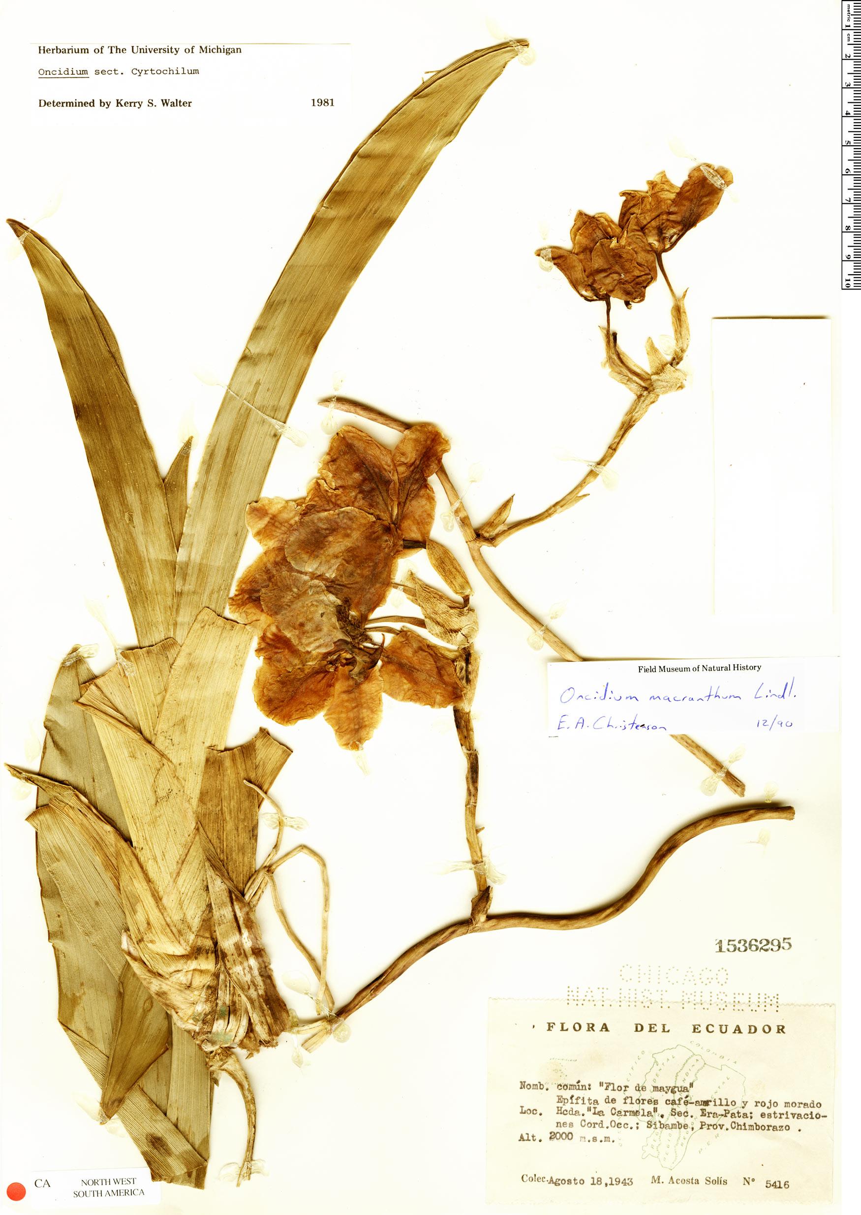 Specimen: Oncidium macranthum