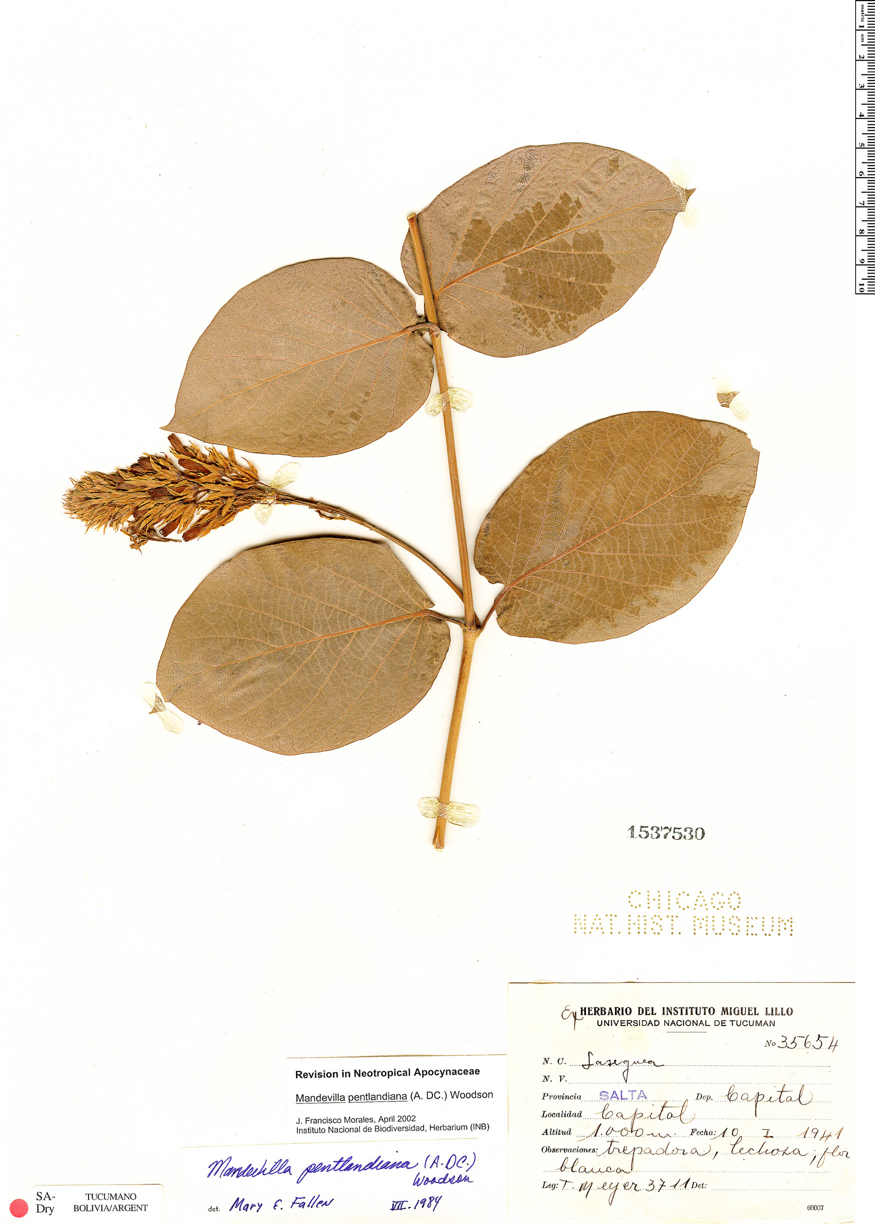 Specimen: Mandevilla pentlandiana