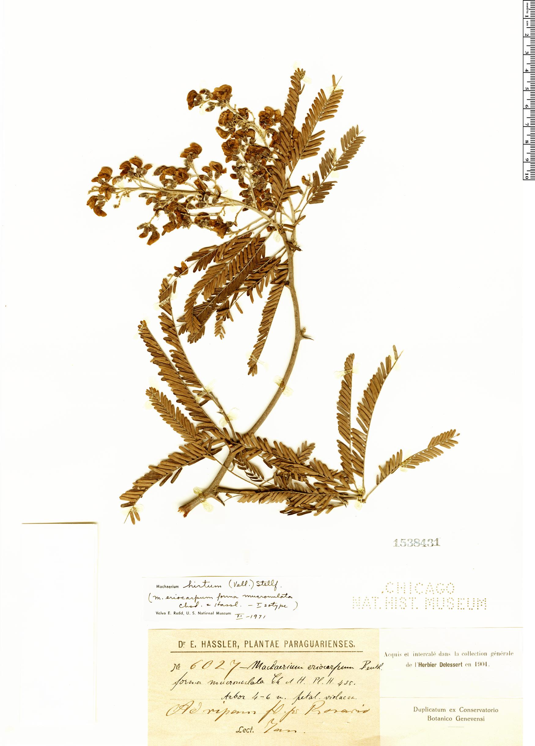 Specimen: Machaerium eriocarpum