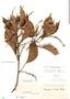 Roupala montana Aubl., FRENCH GUIANA, F. M. R. Leprieur, F