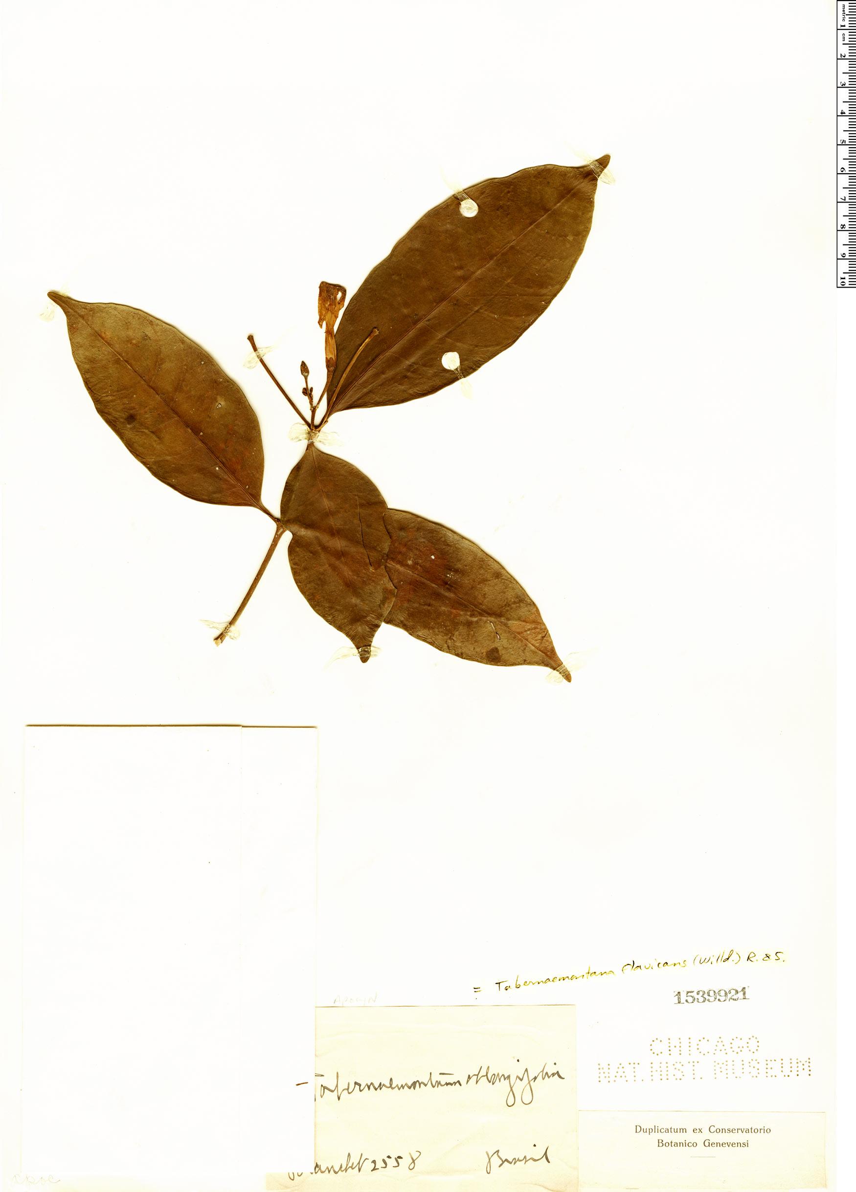 Specimen: Tabernaemontana flavicans
