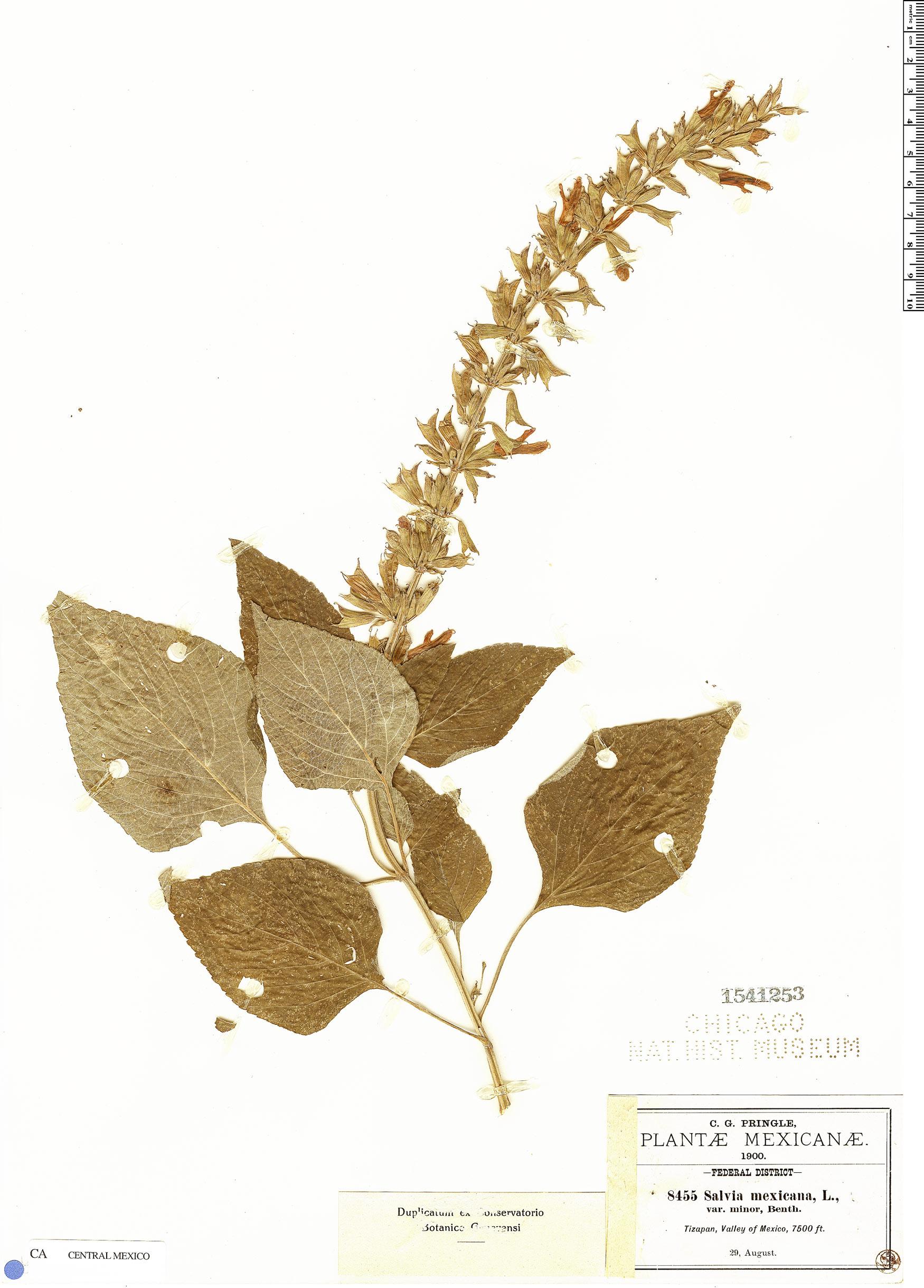 Specimen: Salvia mexicana