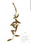 Salvia haenkei Benth., Bolivia, W. M. A. Brooke 5868, F