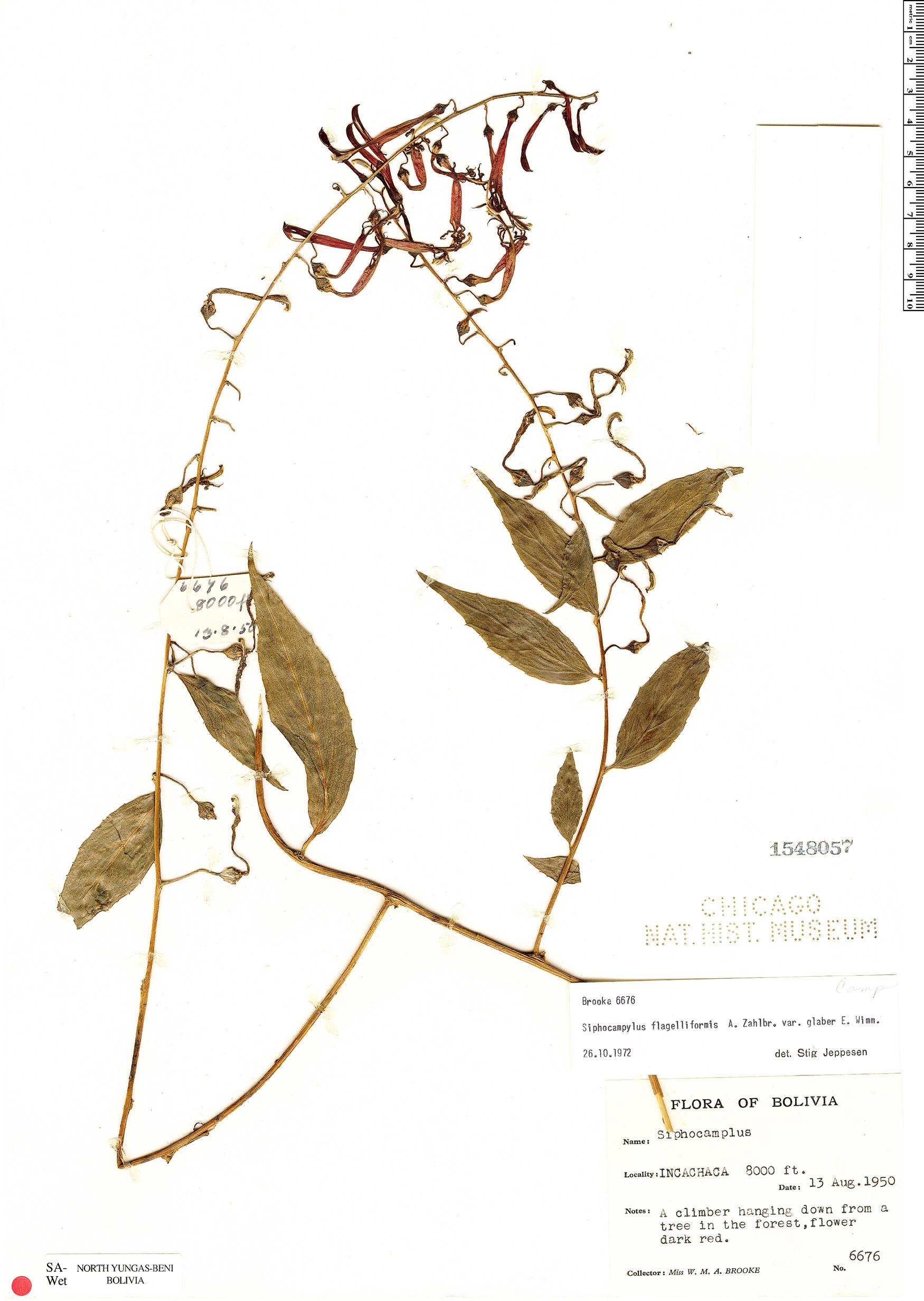 Specimen: Siphocampylus flagelliformis