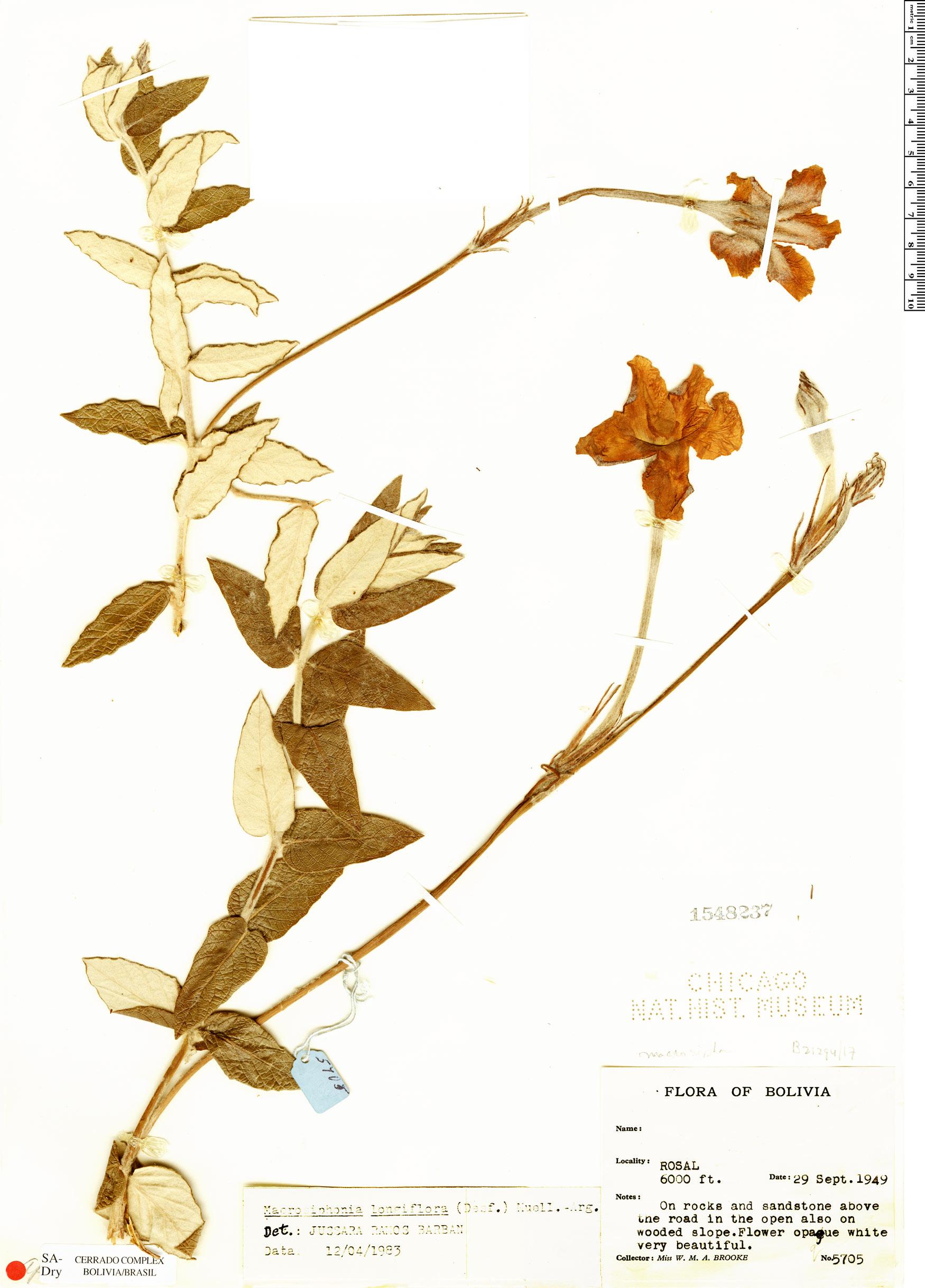 Specimen: Mandevilla longiflora