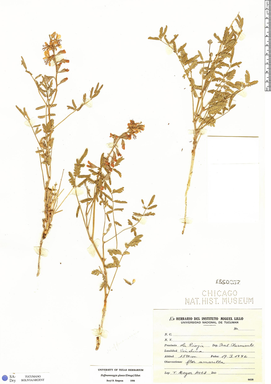 Specimen: Hoffmannseggia glauca