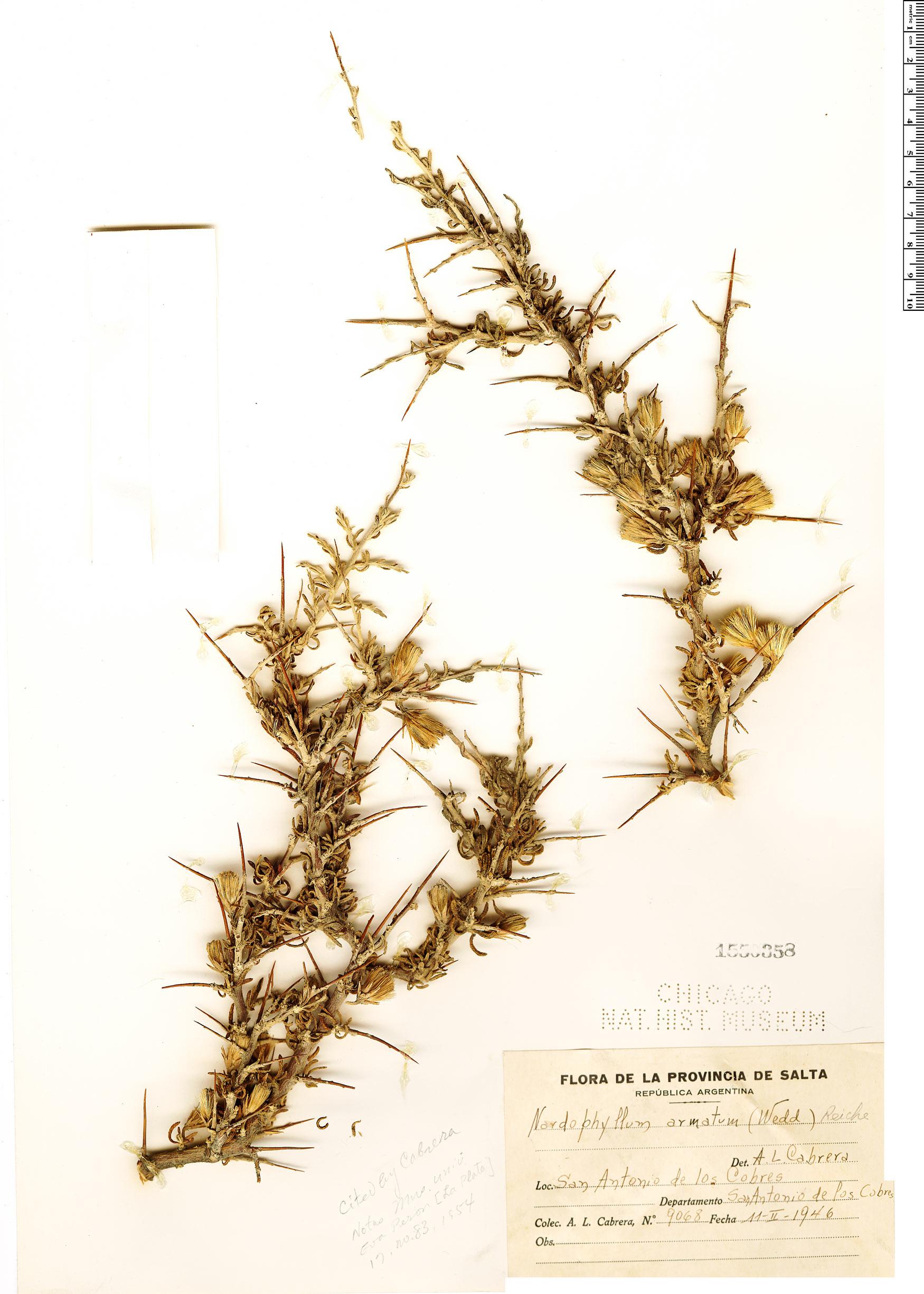 Nardophyllum armatum image