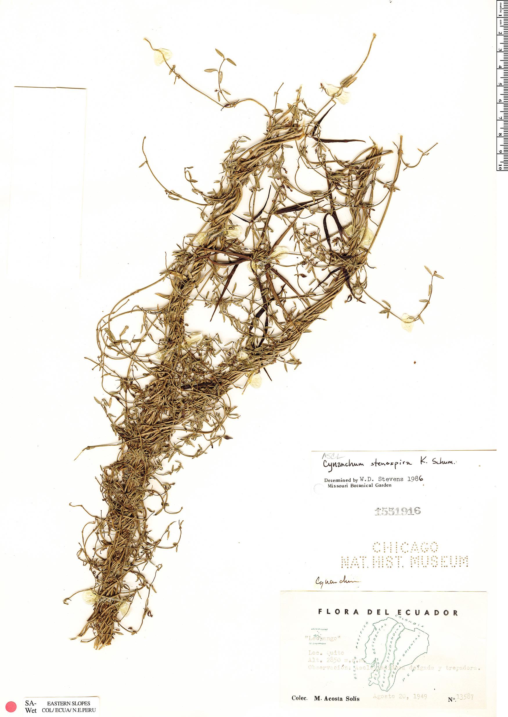 Specimen: Cynanchum stenospira