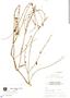 Salvia misella Kunth, Mexico, R. M. King 3951, F