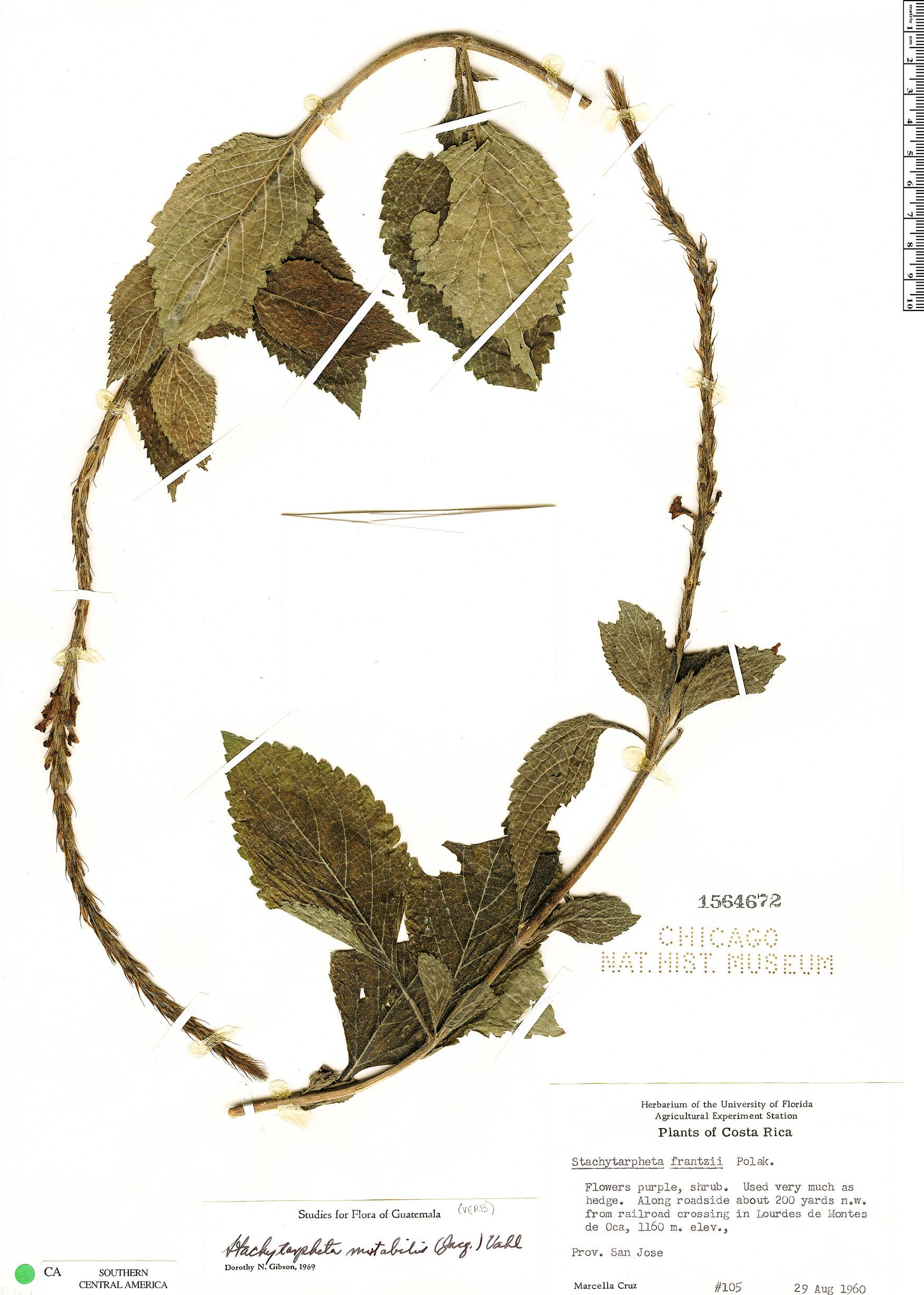 Stachytarpheta mutabilis image