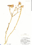 Alstroemeria violacea image