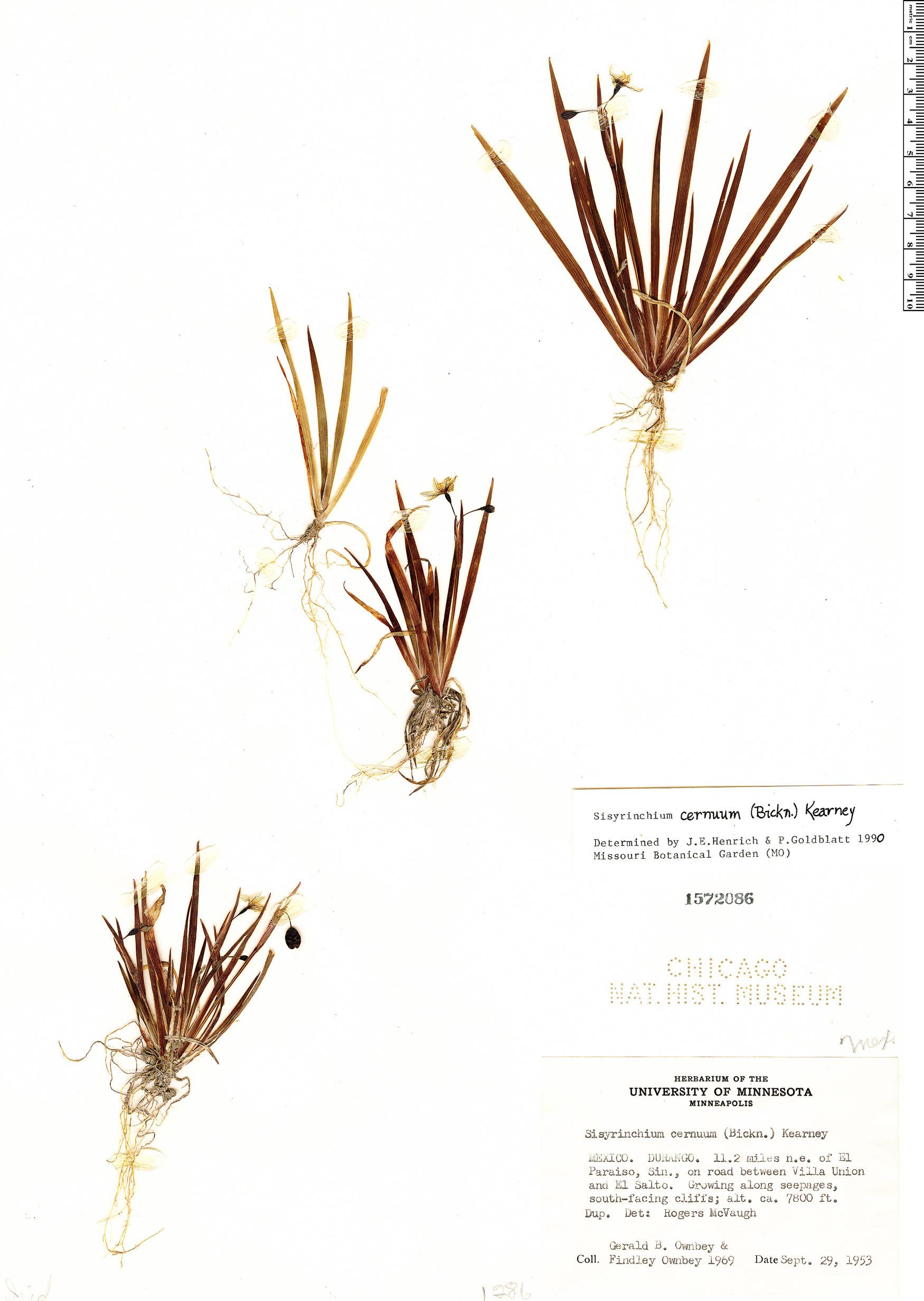 Sisyrinchium cernuum image