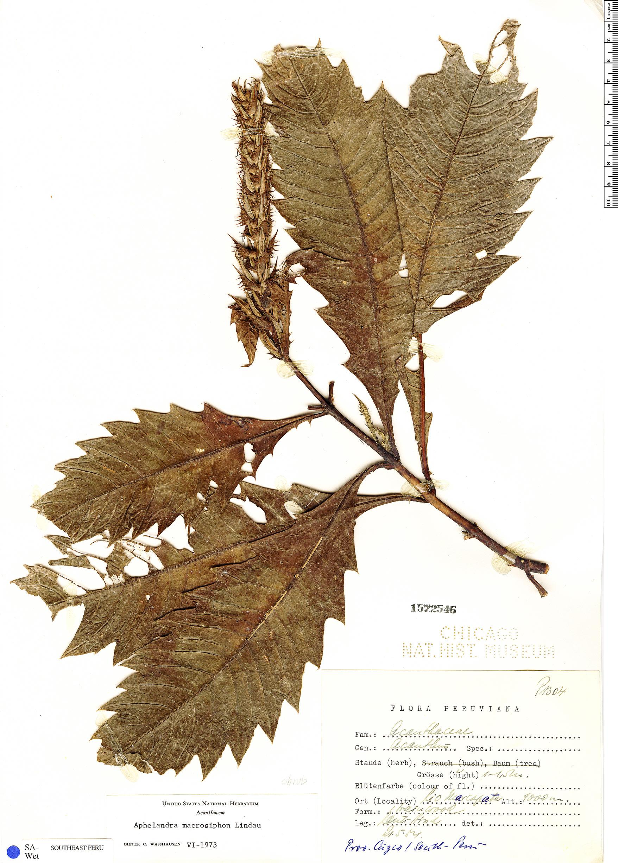 Espécimen: Aphelandra macrosiphon