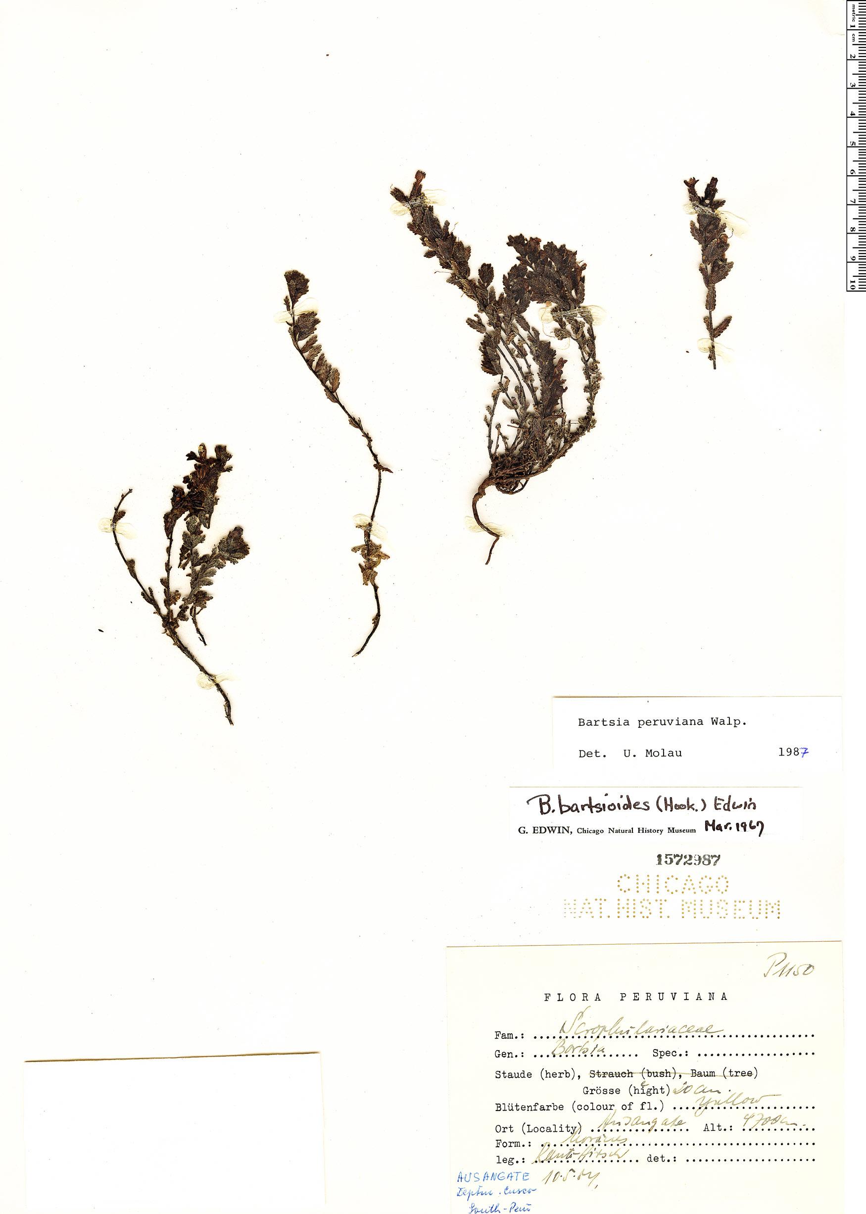 Espécimen: Bartsia peruviana