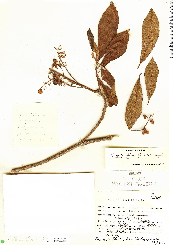 Specimen: Saurauia glabra