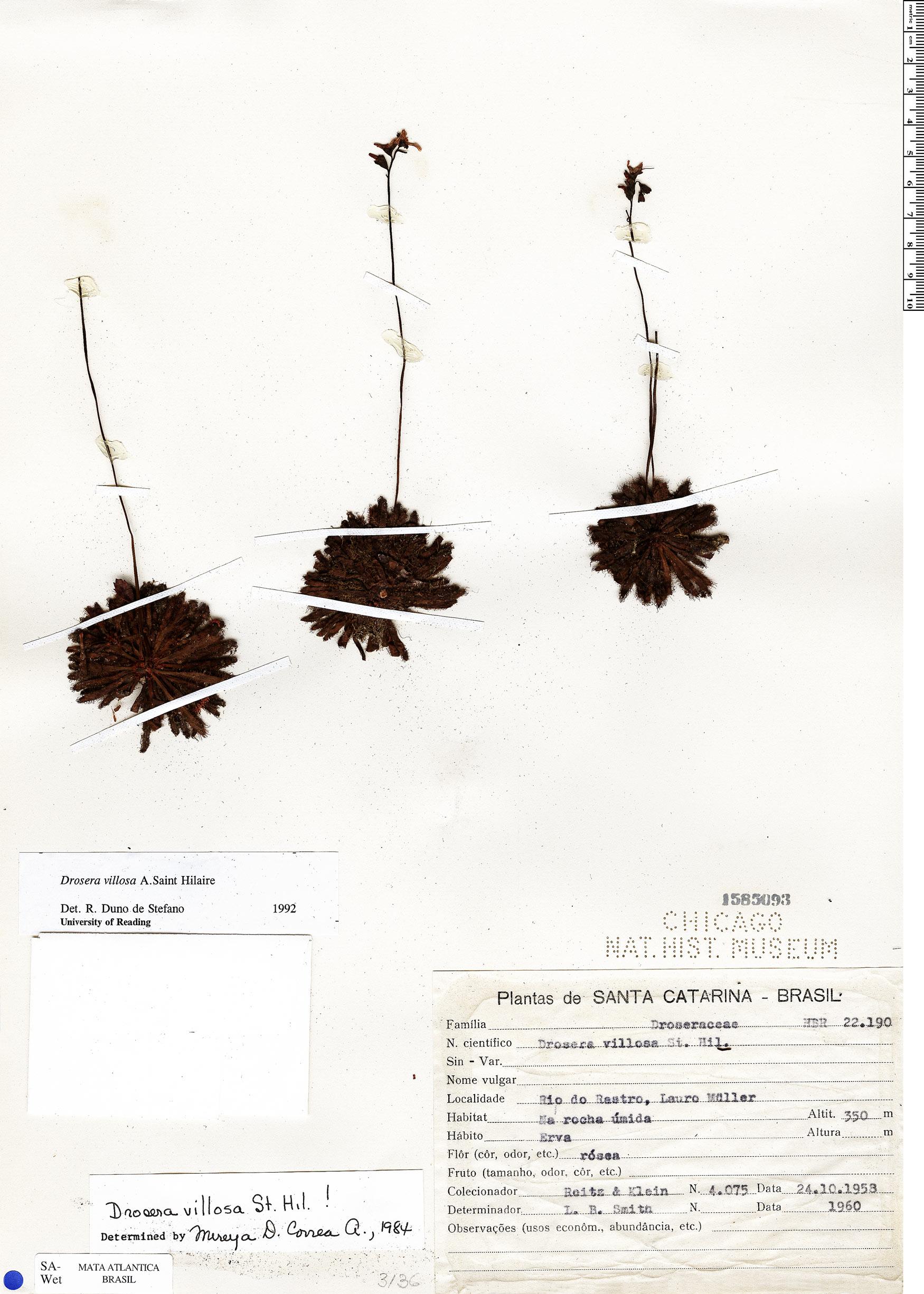 Specimen: Drosera villosa