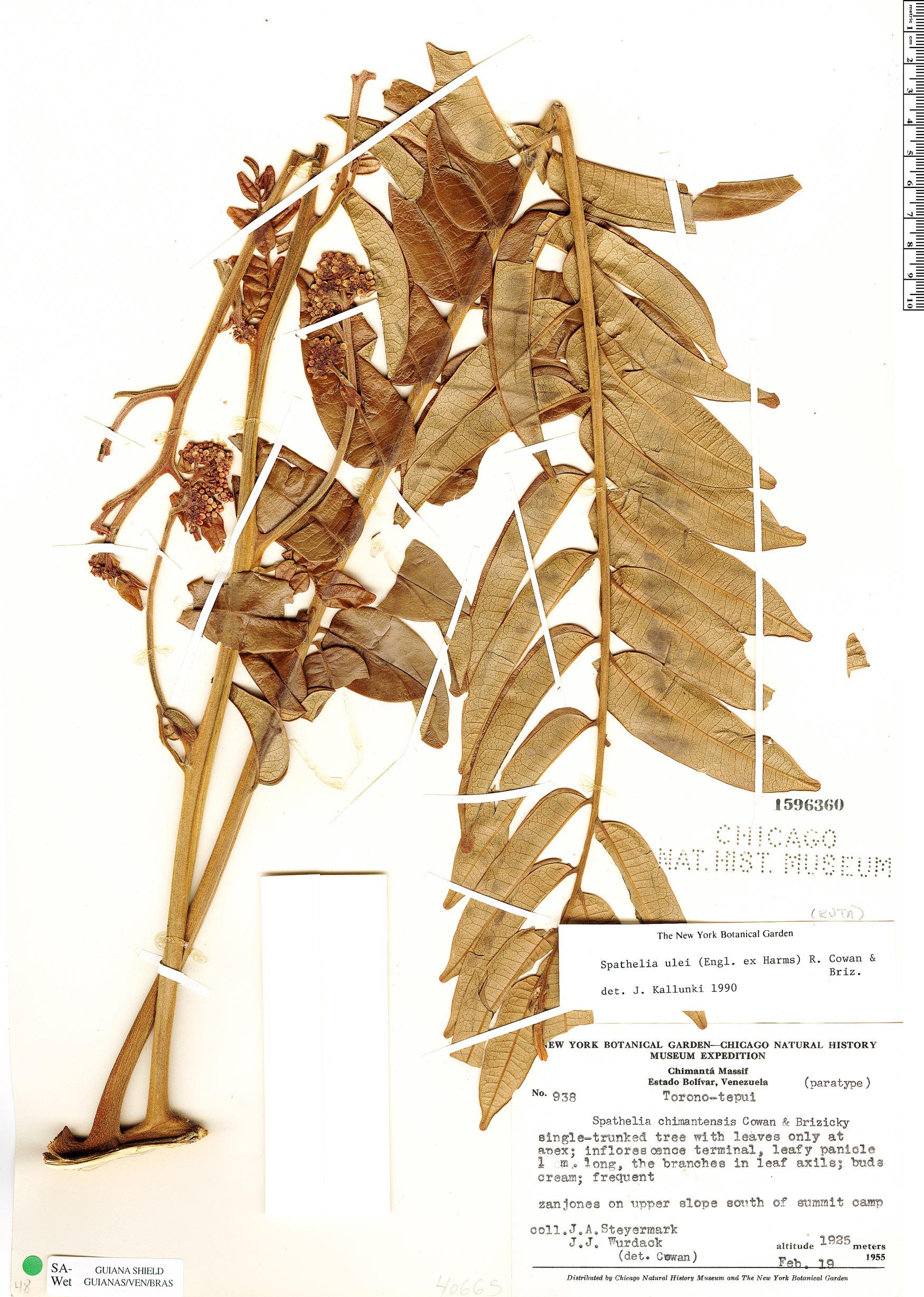 Specimen: Spathelia ulei