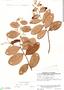Licania coriacea Benth., Venezuela, J. A. Steyermark 90840, F