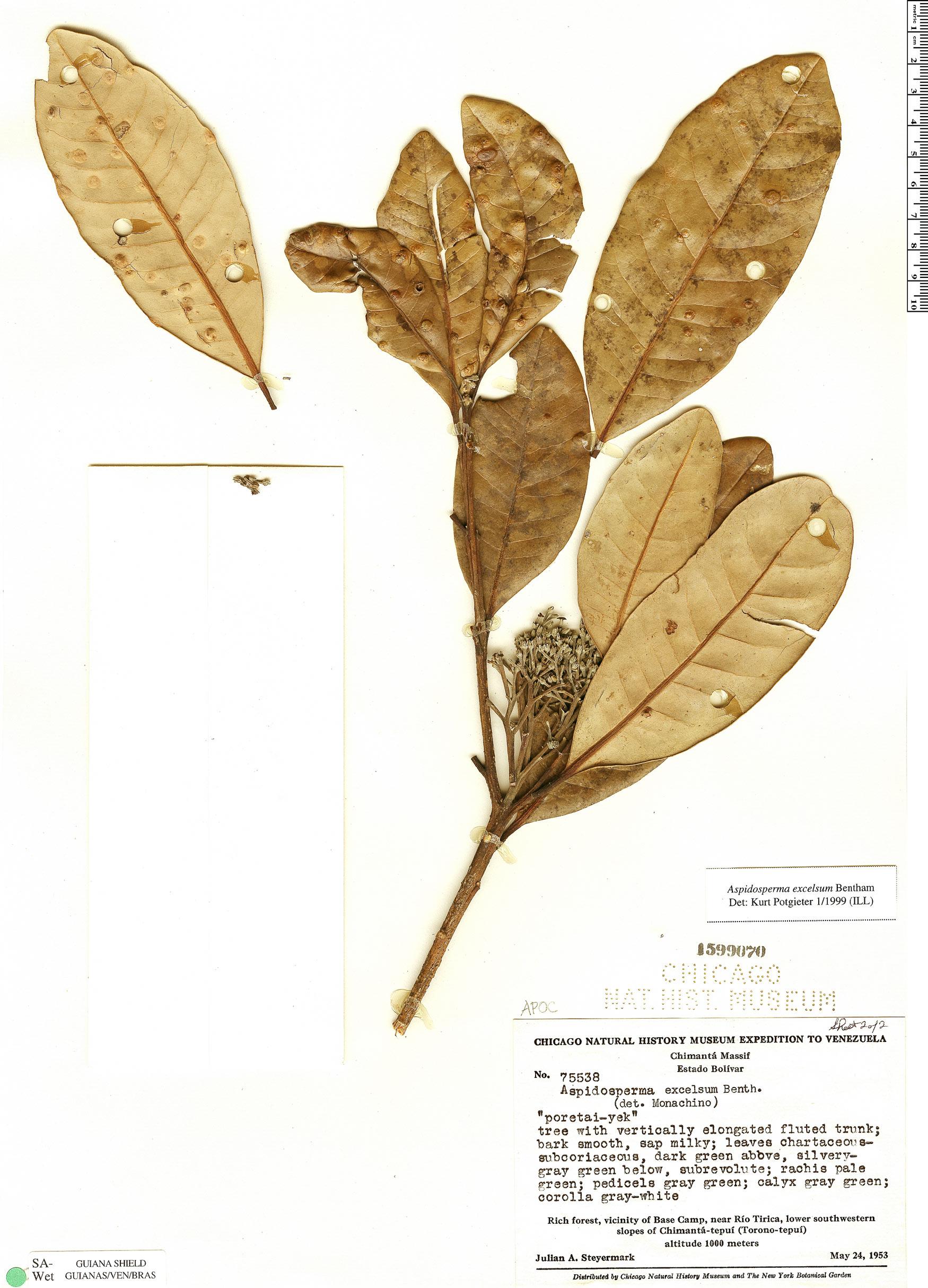 Espécimen: Aspidosperma excelsum