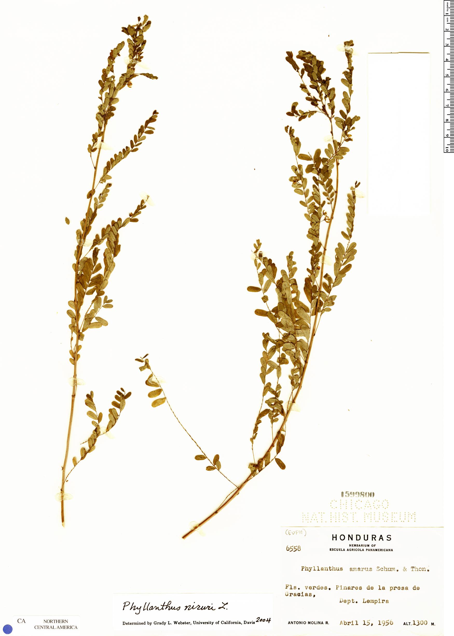 Specimen: Phyllanthus niruri