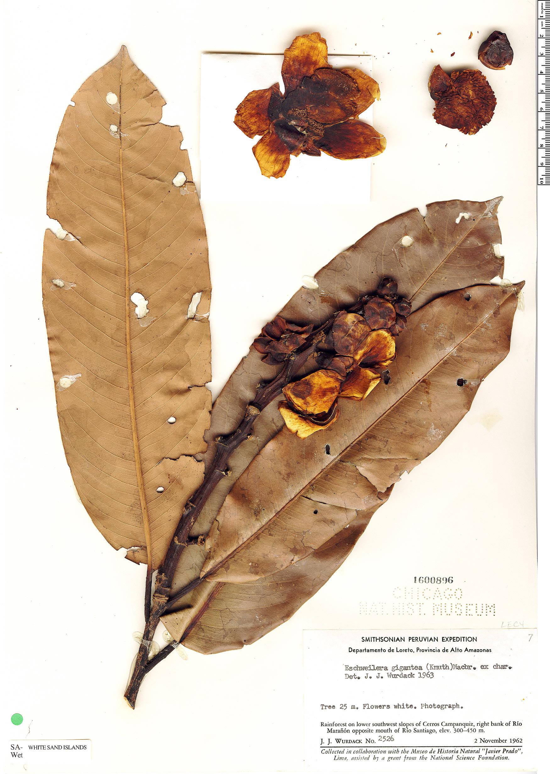 Specimen: Eschweilera gigantea