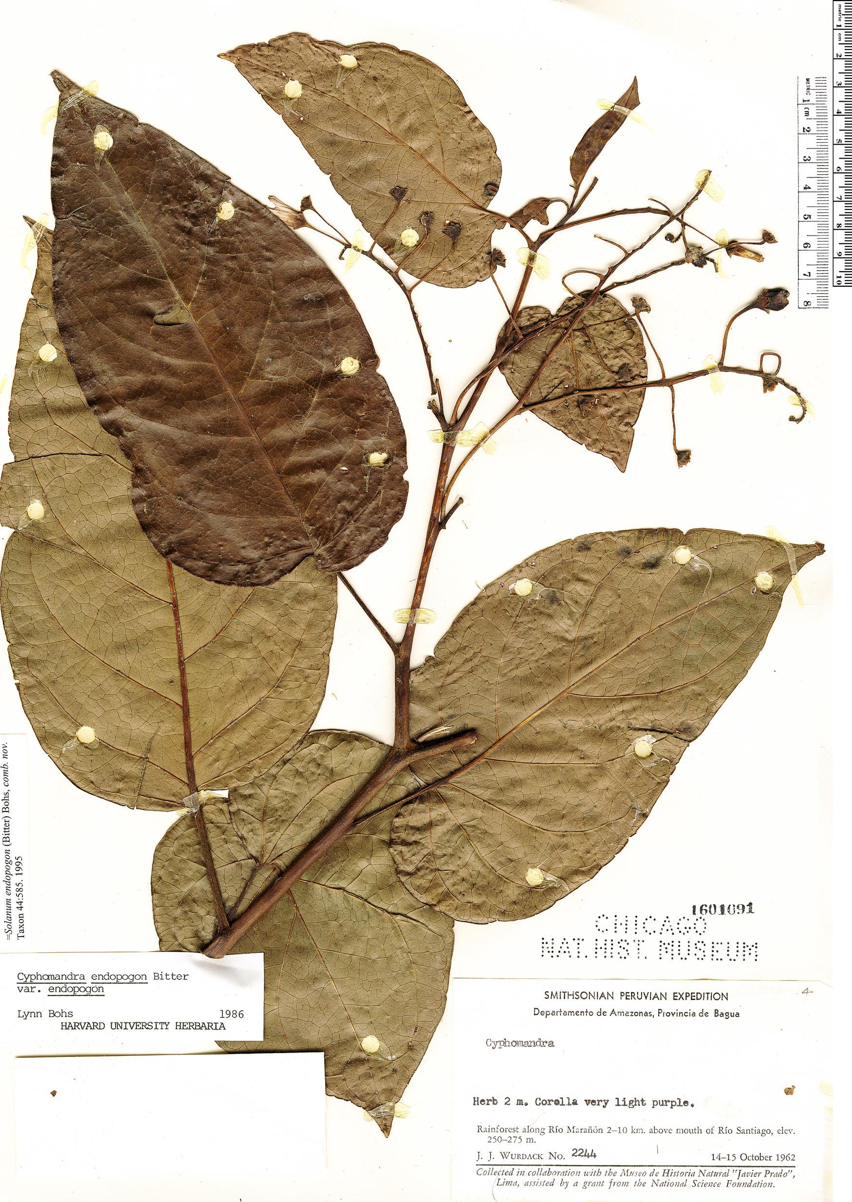 Specimen: Solanum endopogon