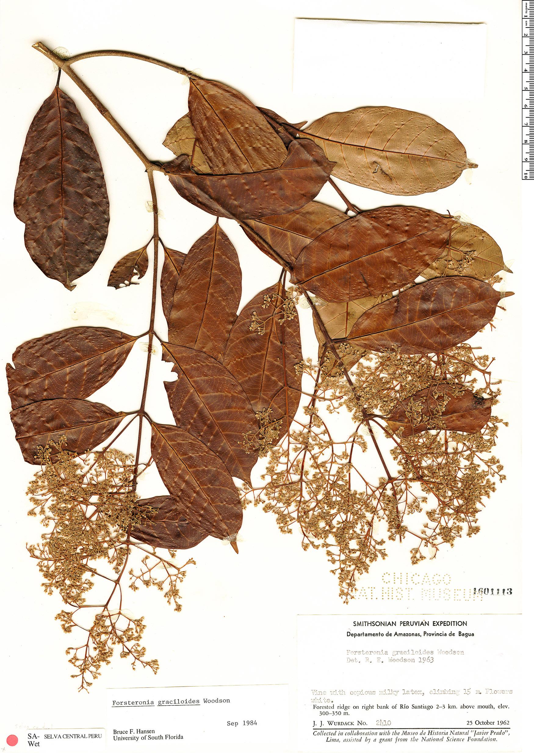 Espécimen: Forsteronia graciloides