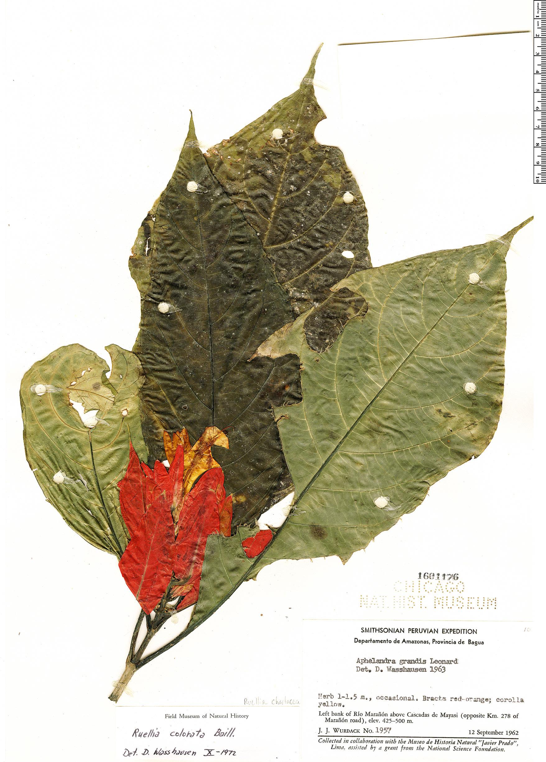 Specimen: Ruellia chartacea