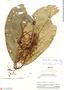 Cheiloclinium pedunculatum image