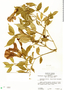 Thunbergia erecta (Benth.) T. Anderson, JAMAICA, M. R. Crosby 1144, F