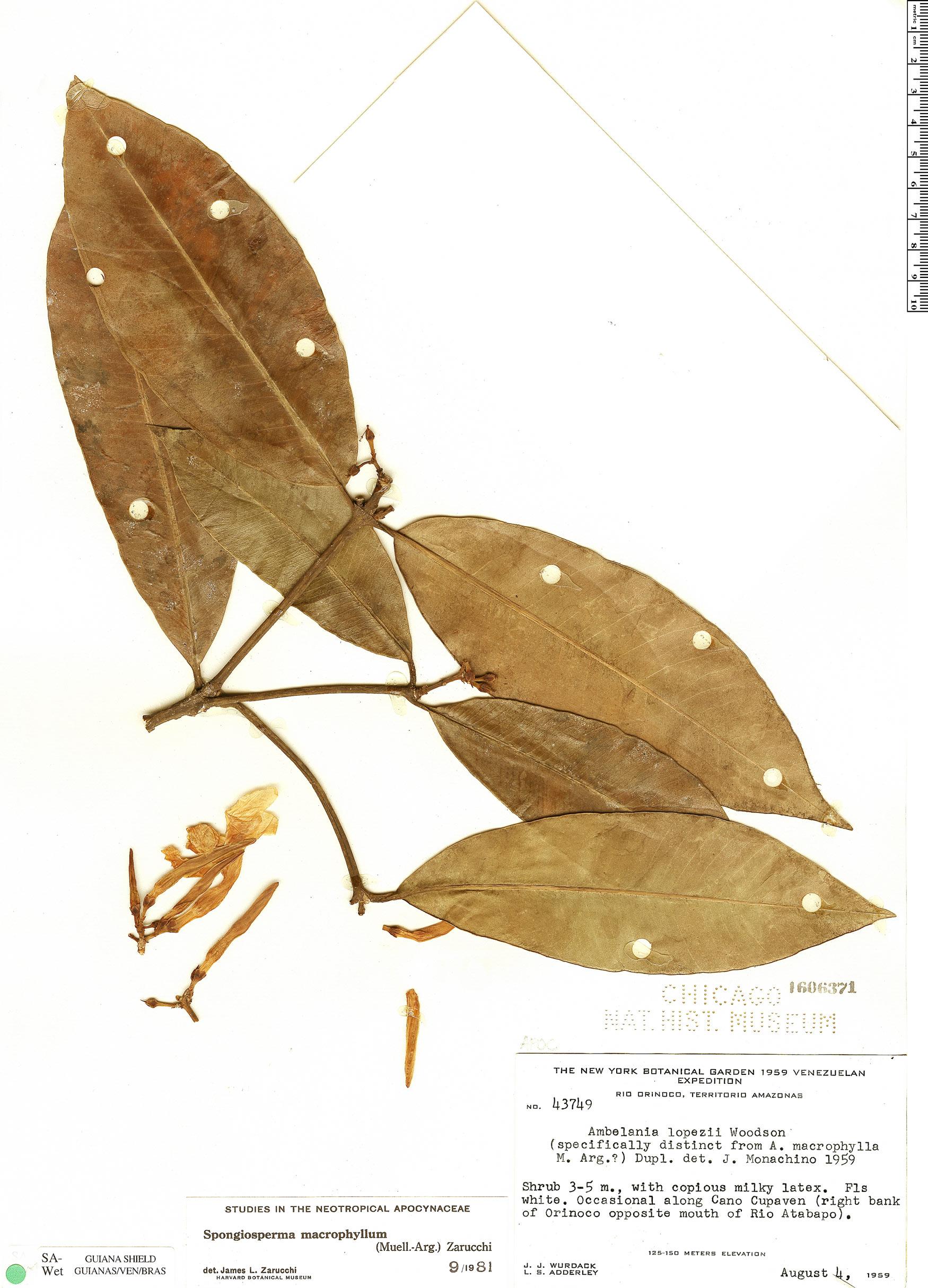 Specimen: Spongiosperma macrophyllum