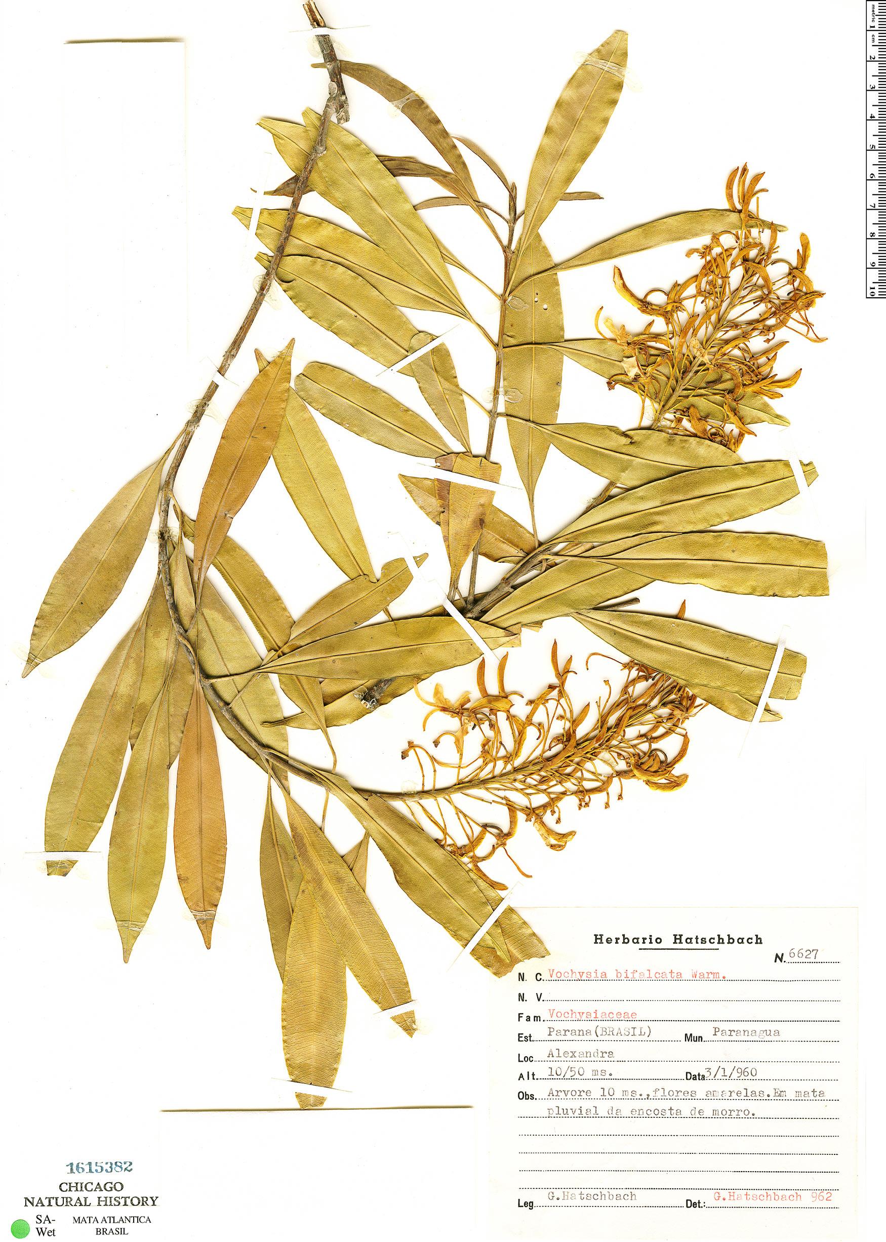 Specimen: Vochysia bifalcata