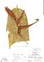 Heliconia tortuosa Griggs, Guatemala, A. Molina R. 12273, F