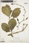 Psiguria ternata (M. Roem.) C. Jeffrey, COLOMBIA, D. D. Soejarto 2369, F