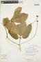 Psiguria ternata (M. Roem.) C. Jeffrey, BRAZIL, T. C. Plowman 12738, F