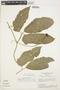 Psiguria ternata (M. Roem.) C. Jeffrey, BRAZIL, H. S. Irwin 25200, F