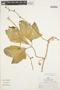 Psiguria ternata (M. Roem.) C. Jeffrey, PERU, R. B. Foster 8372, F