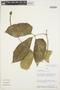 Psiguria ternata (M. Roem.) C. Jeffrey, PERU, S. D. Knapp 7315, F
