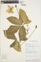 Psiguria ternata (M. Roem.) C. Jeffrey, PERU, S. D. Knapp 6878, F